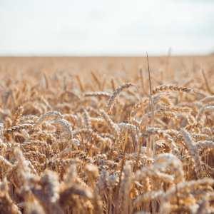 wheat, golden, sky, clouds